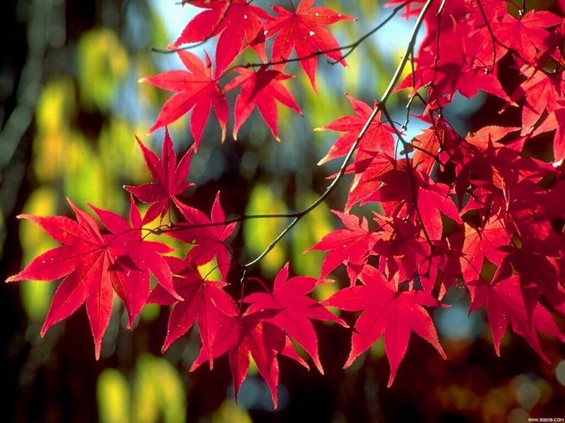 Hearing of Red Leaves