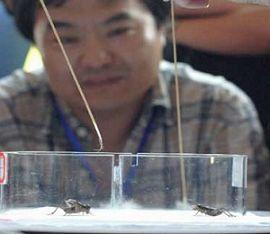 Qibao Crickets