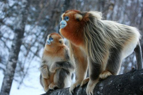 Golden Snub-Nosed Monkey (金丝猴)