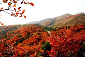 Red Leaves on Hongluo Mountain