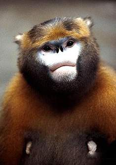 Qian Golden Monkey