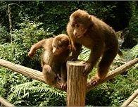 Monkeys in Mount Emei