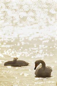 weihai swan lake