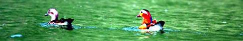 Mandarin Ducks Lake