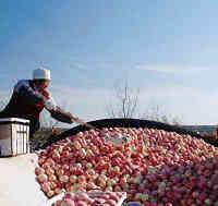 yantai apple