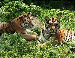 Safari Park of Northeast Tigers
