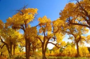 Diversiform-Leaved Poplar Sightseeing District