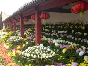 Chrysanthemum blossom in Kaifeng
