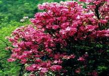 The Indian Azalea