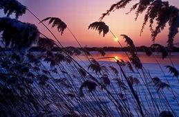 The reed near the Khanka Lake