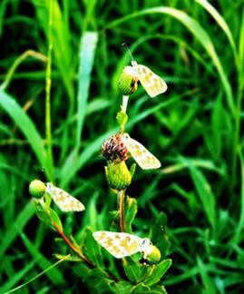 Liangzhu Butterflies