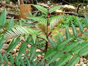 Ailanthus Prickly-ash