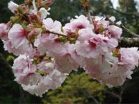 Flamboyant Cherry Blossom